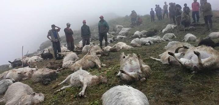 जङ्गलमा चर्दै गरेका भेडामा चट्याङ लाग्दा ५२ भेडा मरे